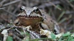 Agile Frog facing the camera, close up, Rana dalmatina Stock Footage