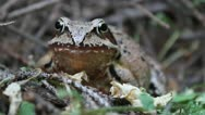 Agile Frog facing the camera, close up, Rana dalmatina Stock Footage