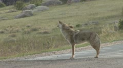 P02035 North American Coyote Calling at Rocky Mountain National Park - stock footage