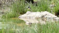 White Wagtail (Motacilla alba) Stock Footage