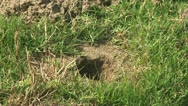 Active Gopher around hole. Stock Footage