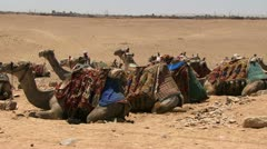 Camels resting on sand in egypt Stock Footage
