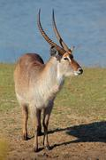 Waterbuck bull Stock Photos