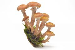 mushrooms(armillaria mellea) - stock photo