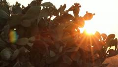 Sun shining through branches of Indian fig cactus Stock Footage