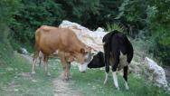 Two Cows Stock Footage