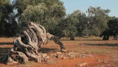 Wind blowing the leaves and branches of an olive tree Stock Footage
