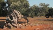 Stock Video Footage of Wind blowing the leaves and branches of an olive tree