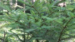 Fir tree branches Stock Footage