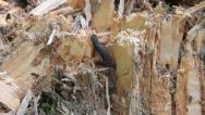 Salamandra leaving, Cynops pyrrhogaster Stock Footage