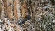 Salamandra climbing tree log, Cynops pyrrhogaster Stock Footage