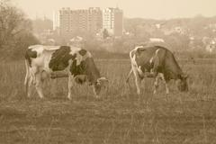 Cows against the city Stock Photos