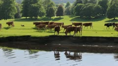 Herd near riverbank Stock Footage
