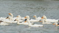 Domestic flock of ducks swimming on the lake Stock Footage