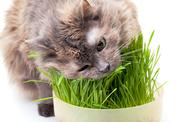 A pet cat eating fresh grass Stock Photos