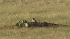 P02060 Black-tailed Prairie Dogs and Cactus at Custer State Park Stock Footage
