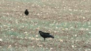 Rook on a plowed field in autumn Stock Footage
