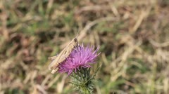 Grasshopper on a thistle flower Stock Footage