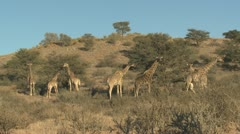 P02072 Herd of Giraffe at Kgalagadi Transfrontier Park in South Africa Stock Footage