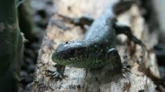 Sand Lizard, Lacerta agilis chersonensis, close up Stock Footage