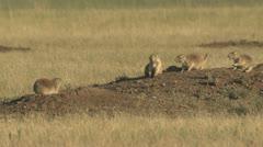 P02061 Black-tailed Prairie Dogs on Mound Stock Footage