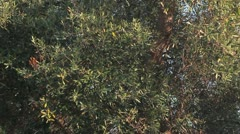 Trunk and leaves of an olive tree Stock Footage