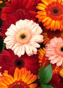 vibrant colorful daisy gerbera flowers - stock photo
