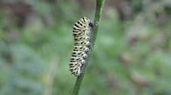 Swallowtail Caterpillar, Papilio machaon Stock Footage