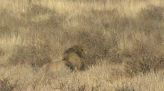 P02080 African Lion n the Kalahari Stock Footage