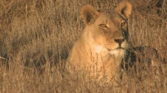 P02081 Closeup of Female Lion Resting in Grass Stock Footage