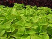 Coleus nettle plant Stock Photos