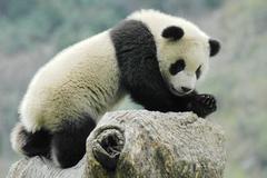 panda cub - stock photo
