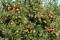 apple orchard 04 - stock photo