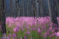 Fireweed wildflowers in a burnt forest Stock Photos
