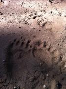 bear paw prints - stock photo