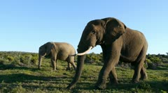 Big elephant Stock Footage