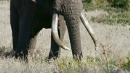 Big elephant with long tusks Stock Footage