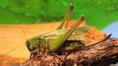 Wart-biter Bush Cricket female, macro, Decticus verrucivorus Stock Footage