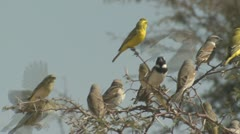 P02097 Songbirds on Branch at the Kalahari Stock Footage