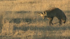 P02095 Bat-eared Fox Hunting in the Kalahari Stock Footage