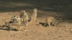 P02100 Suricates ie Meerkats in the Kalahari Desert Stock Footage