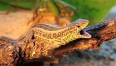 Sand Lizard yawning, Lacerta agilis chersonensis, close - stock footage