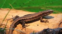 Viviparous Lizard, Zootoca vivipara Stock Footage
