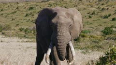 Huge male elephant bull Stock Footage