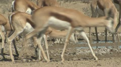 P02090 Closeup of Animals Drinking Water in the Kalahari Desert Stock Footage