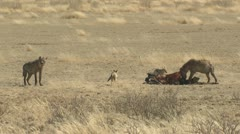 P02092 Spotted Hyenas and Jackal at Wilderbeest Kill in the Kalahari Stock Footage