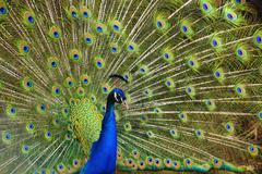 male indian peacock - stock photo