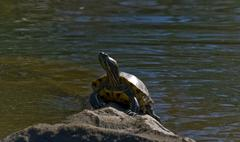 turtle on rock in the sun - stock photo