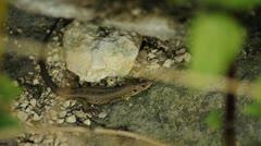 Sand lizard Stock Footage