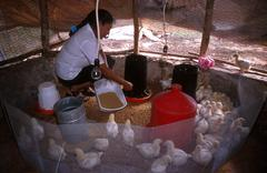 mexico hispanic fcy project chicken rearing - stock photo